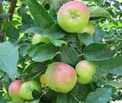 buah-apel-hijau