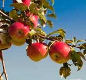Makanlah Apel dengan kulitnya